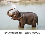 Elephant Splashing With Water...