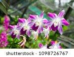 purple orchid in the flower farm   Shutterstock . vector #1098726767