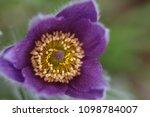 flowering pasque pulsatilla... | Shutterstock . vector #1098784007