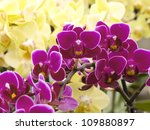Very Many Violet And Yellow...