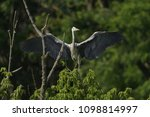 grey heron  ardea cinerea       ... | Shutterstock . vector #1098814997