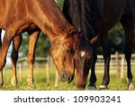 Black and brown horses grazing in the field - stock photo