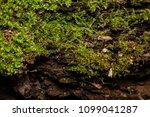 moss covered fallen trees along ... | Shutterstock . vector #1099041287