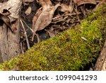 moss covered fallen trees along ... | Shutterstock . vector #1099041293