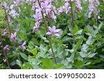 dictamnus albus known as... | Shutterstock . vector #1099050023