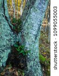ferns growing on a tree in a... | Shutterstock . vector #1099055003