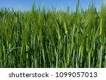 green wheat field on a sunny... | Shutterstock . vector #1099057013