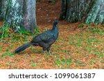 bird pacu brazil | Shutterstock . vector #1099061387
