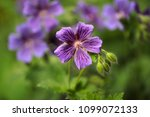 close up of of lilac flower in... | Shutterstock . vector #1099072133