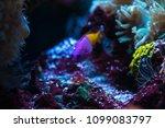 nice saltwater aquarium yellow... | Shutterstock . vector #1099083797
