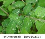 water drops on honey suckle ... | Shutterstock . vector #1099103117