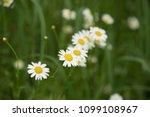 daisy flower  bellis perennis ... | Shutterstock . vector #1099108967