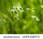 daisy flower  bellis perennis ... | Shutterstock . vector #1099108973