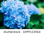 close up of blue hydrangea with ... | Shutterstock . vector #1099113563