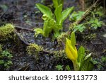 yellow flower in the muddy... | Shutterstock . vector #1099113773