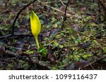 yellow flower getting ready to... | Shutterstock . vector #1099116437