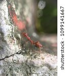 Small photo of ant red ant walk