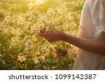 blooming aegopodium podagraria   Shutterstock . vector #1099142387
