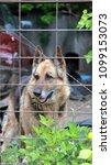 Small photo of Black and tan German Shepherd dog guarding an auto salvage yard