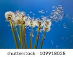 Dandelions in front of blue sky. - stock photo
