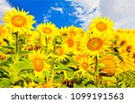 Sunflower Field In Sunny Day...