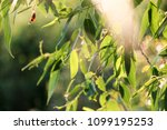 detail weeping willow fringed... | Shutterstock . vector #1099195253