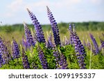lupinus  lupin  lupine field...   Shutterstock . vector #1099195337