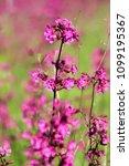 close up of a little violet...   Shutterstock . vector #1099195367