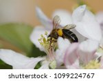 pollination of tree flowers ... | Shutterstock . vector #1099224767