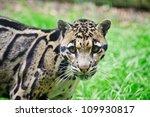 Clouded Leopard Neofelis...