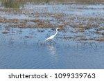 A white egret walking in the marsh.