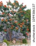 African Tuliptree  Spathodea...