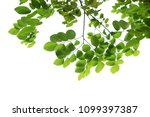 tree branch isolated | Shutterstock . vector #1099397387