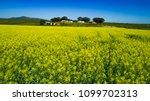 canola fields near philadelphia ... | Shutterstock . vector #1099702313