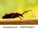 Small photo of Black and brown Elateridae beetle