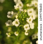 Small photo of white Alyssum flowers close-up