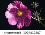 garden cosmos  cosmos...   Shutterstock . vector #1099832387