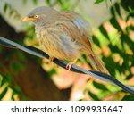 Small photo of Jungle Babbler Bird