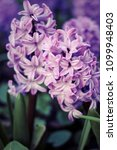 fresh hyacinths on land in a... | Shutterstock . vector #1099948403