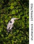 grey heron  ardea cinerea | Shutterstock . vector #1099967903