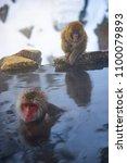 japanese snow monkeys relaxing ... | Shutterstock . vector #1100079893