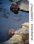 japanese snow monkeys relaxing ... | Shutterstock . vector #1100079917