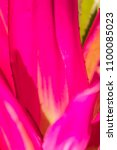 Small photo of Deep pink of hybrid aechmea fasciata or bromeliad pineapple with sunshine in the morning. Pinky Neoregelia plant for tropical rain forest garden decoration.