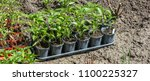 young green seedlings plants... | Shutterstock . vector #1100225327