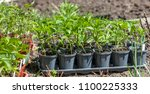 young green seedlings plants... | Shutterstock . vector #1100225333