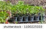young green seedlings plants... | Shutterstock . vector #1100225333