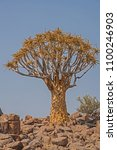 Small photo of Aloidendron dichotomum, the Quiver Tree. in Soutern Namibia 7