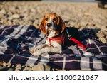 beautiful beagle puppy lying on ... | Shutterstock . vector #1100521067