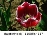 Dark Red To Violet Tulip Flowe...