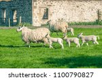 new born lambs and their... | Shutterstock . vector #1100790827